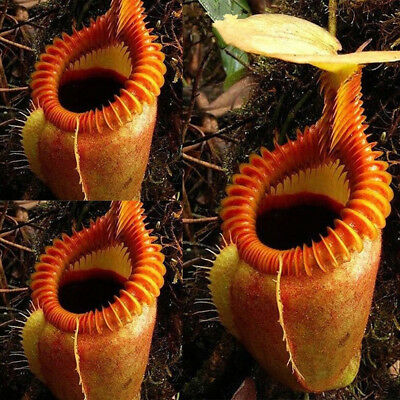 120 Seed Rare Nepenthes Flytrap Balcony Potted Bonsai Plant Plant Carnivorous FE