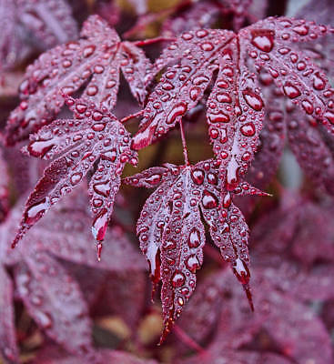 Acer purpureum Red Japanese Maple Seeds Small Tree Deeply Lobed red Purple Leaf