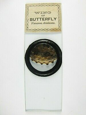 Antique Microscope Slide. Wing of Butterfly. Vanessa Atalanta. Red Admiral.