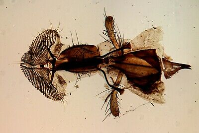Antique Microscope Slide by Norman. Proboscis of a Blow Fly.