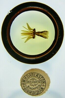 Antique Microscope Slide by Darlaston. Mouth Organ of Great Gadfly. Tabanus....