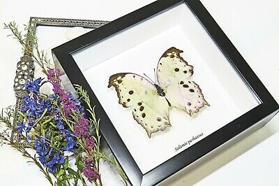 Mother of Pearl Butterfly for sale framed collection Salamis parhassus  BASP