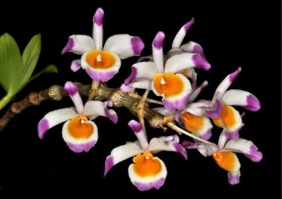 Image result for dendrobium pendulum