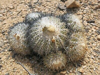 50 SEEDS of Copiapoa cinerascens, fresh from habitat, north of Chanaral
