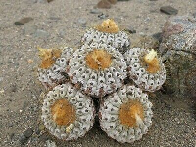 50 SEEDS of COPIAPOA CINEREA V. HASELTONIANA, N of Taltal, Chile