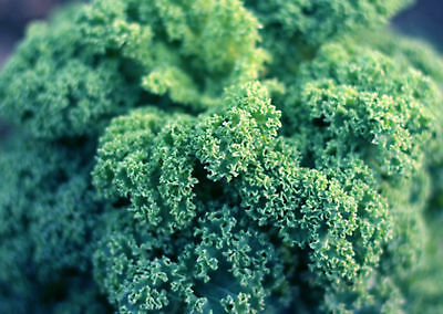 10.3g Dwarf Blue Curled Kale Seeds ~3700 Count Healthy Superfood Winter Veggie