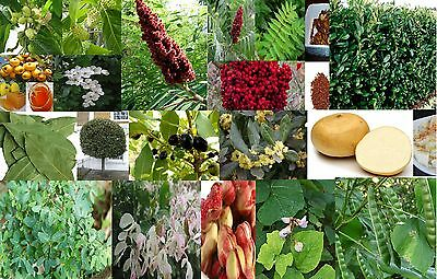 Mulberry, Nectaine, fig Fruit & Spice - other edible fruiting - U Pick seeds