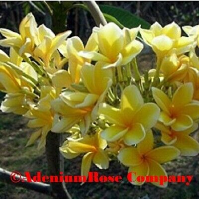 Plumeria Dwarf Yellow Oriole Live Establish Plants  2+ branches NOT CUTTINGS