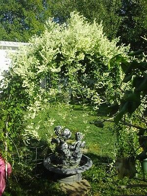 20 SILVER LACE VINE Polygonum Aubertii Silverlace White Flower Seeds *Comb S/H