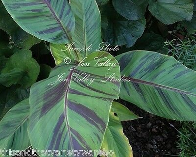 Musa sikkimensis Red Tiger Banana Tree Seeds Cold Hardy Purple Green Leaves