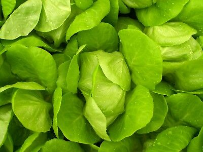 Little Gem Lettuce Seeds Perfect for small gardens Non GMO Small Solid Heads