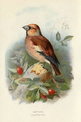 Hawfinch, Thorburn style British bird chromo print 1880s ready mounted SUPERB