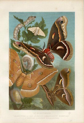 1883 Brehm BUTTERFLY CHINESE OAK SILKWORM MOTH COCOON PUPA Antique Print