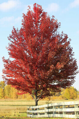 Autumn Flame Maple Tree Acer Ginnala Live Bare Root Plant