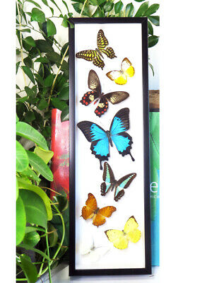 Insect for sale Taxidermy Real framed Australian butterfly collection BFAS