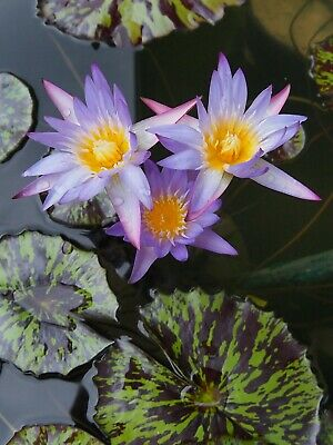 """Nymphaea """"Star of Siam"""" - tropische Seerose - Water Lily Tuber/Plant"""