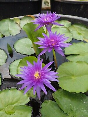 """Nymphaea """"King of Siam"""" - tropische Seerose - Water Lily Tuber/Plant"""