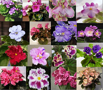 African Violet *Standard//Large* UNROOTED LEAF PAIR 2 leaves MANY TO CHOOSE FROM