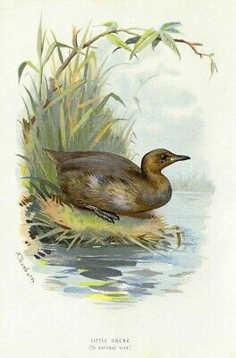 Little Grebe, SUPERB Thorburn British bird chromo print 1880s, ready mounted