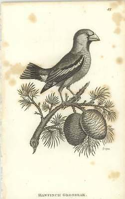 1815 Hawfinch Grosbeak Engraved Bird Print Shaw and JF Stephens