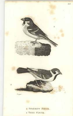 1815 Sparrow Finch And Tree Finch Engraved Bird Print Shaw and JF Stephens
