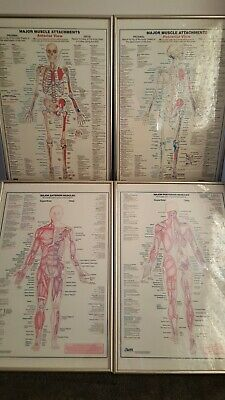 Fitness Body Building Muscle Anatomy Posters Human Skeleton Medical Chart