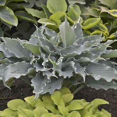 Hosta WATERSLIDE 2 Year Old Plant Buy Any 5 Hostas A Get One Free My Choice