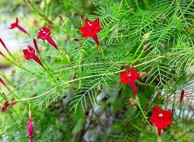 Red Cypress Vine Plant Seeds Tropical Foliage Red Flower