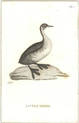 1825 Shaw Zoology Bird Print Little Grebe
