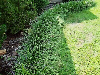 25 Liriope Bare Root Plants Aka Monkey Grass Lilyturf Evergreen