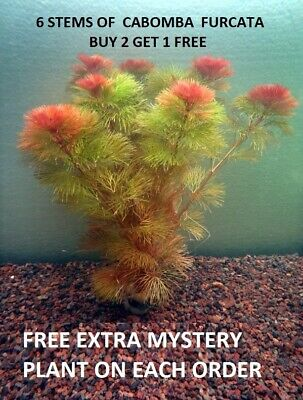 Red Cabomba Piauhyensis Furcata Fanwort Bunch Live Aquarium Plants BUY2GET1FREE