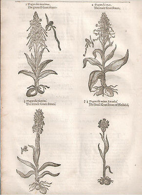 1597 Botanical woodcut from Gerard, The herball, or Generall historie of plantes