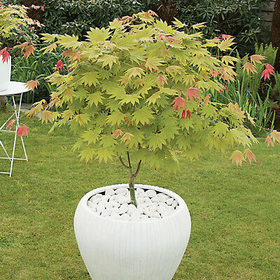 Japanese Maple Acer Shirasawanum Aureum In A 3l Pot 60cm Tall