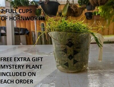 2 Cup Of Hornwort ( Ceratophyllum demersum) For Outdoor Ponds & Aquariums tanks