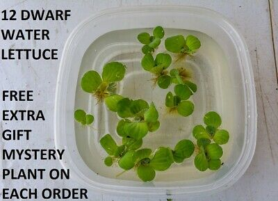 12 water dwarf lettuce live plant pond koi turtle food planted tank aquarium