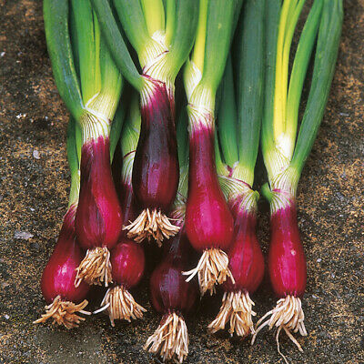Unwins Seeds Spring Vegetable Onion 500 seeds North Holland Blood red