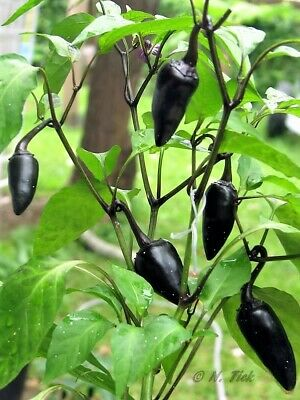 25 BLACK HUNGARIAN PEPPER Capsicum Annuum Mildly Hot Vegetable Seeds *Flat Ship