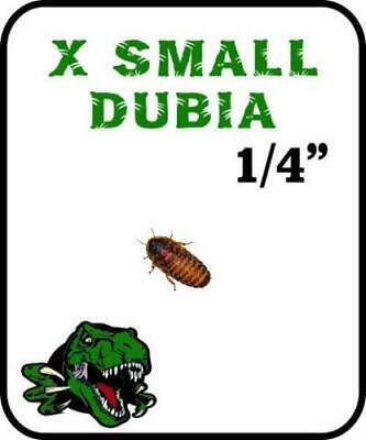 Dubia Roach Extra Small
