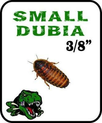 Dubia Roach Small