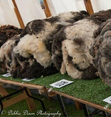 Raw Jacob Sheep Fleeces - From our Pedigree flock - Various Colours & Amounts