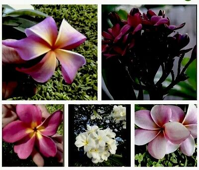 "15 PLUMERIA Tree Plant Cuttings (15 Pcs.) 12"" 1Tip 3x5 BIG Sale! 🌺Collector' FS"