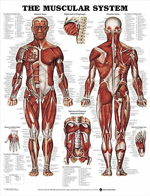 61143 THE MUSCULAR SYSTEM Wall Poster Print AU