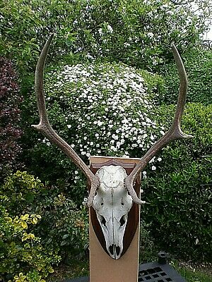 Very Large Black Forest Roe Deer Skull And Antlers On Wooden Mount
