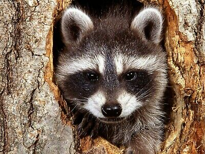 Raccoon - Raccoons 8X10 Glossy Photo Picture Image #5