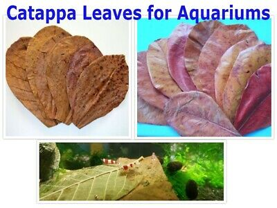 Catappa~Indian Almond dry A+ Leaves for Aquariums Shrimps~Fish Health Clean 100g