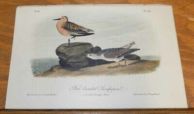 c1856 Antique COLOR Print/AUDUBON BIRDS///RED-BREASTED SANDPIPER