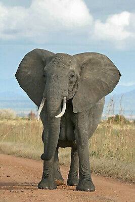 Elephant 8X10 Glossy Photo Picture Image #3