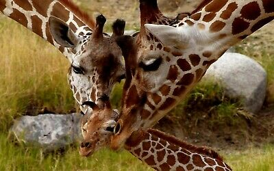 Giraffes With Baby 8X10 Glossy Photo Picture Image #6