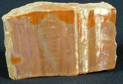 A 225 Million Year Old Polished Petrified Wood Fossil From Arizona 410gr e