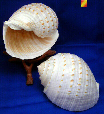 "2 Beautiful Tonna Tesselata Spotted Tun Shells Hermit Crab Natural 3 1/2"" Large"